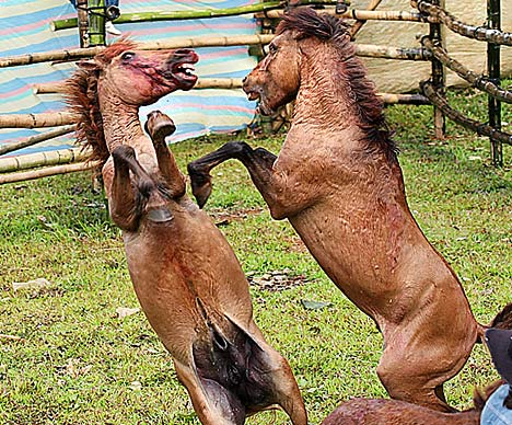 Horse Fighting 2