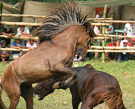 Horse Fighting 3