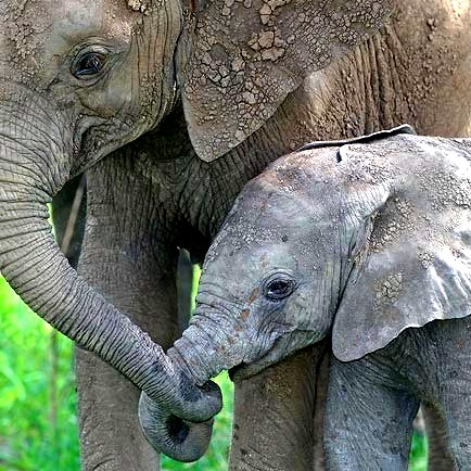 external image elephant-baby-mom-2.jpg